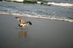 Terre del gabbiano sulla spiaggia di Ventnor Immagini Stock