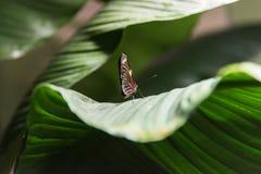 Terre della farfalla su una foglia Fotografie Stock