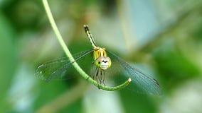 Terre della libellula su una vite stock footage