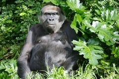 terre en contre-bas de gorilles occidentale Images libres de droits