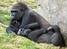 terre en contre-bas deux de gorilles Image stock