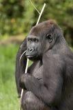 terre en contre-bas femelle de gorille occidentale Photos stock