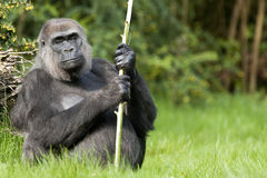 terre en contre-bas femelle de gorille occidentale Image libre de droits