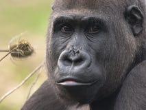 terre en contre-bas femelle de gorille occidentale Photographie stock libre de droits
