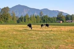 Terre et bétail de pâturage ruraux scéniques Photographie stock