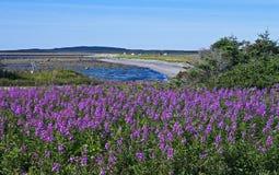Terre-Neuve côtière avec l'épilobe Photo libre de droits
