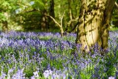 Terreni boscosi di Bluebell in un terreno boscoso inglese antico Fotografia Stock