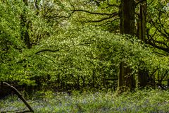 Terreni boscosi di Bluebell in un terreno boscoso inglese antico fotografie stock