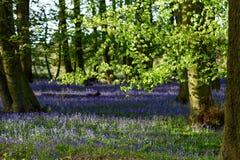 Terreni boscosi di Bluebell in un terreno boscoso inglese antico Immagini Stock Libere da Diritti