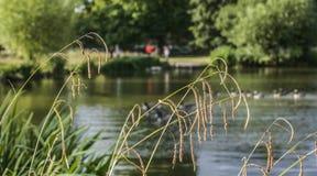 Terreni comunali di Clapham, Londra - lo stagno/paglie di erba Fotografia Stock