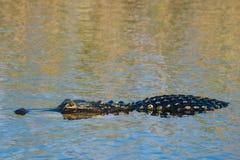 Alligatore americano Fotografie Stock Libere da Diritti