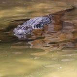 Terreni paludosi dei coccodrilli della Florida Aligators Fotografia Stock Libera da Diritti