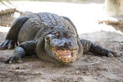 Terreni paludosi dell'alligatore Fotografia Stock Libera da Diritti