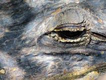 Terreni paludosi Florida dell'alligatore Fotografia Stock