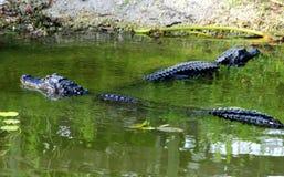 Terreni paludosi N P - Gli alligatori Immagine Stock Libera da Diritti