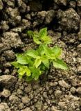 Terreno asciutto crescente della depressione della pianta verde Immagini Stock Libere da Diritti