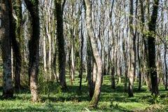Terreno boscoso deciduo nella primavera in Argyll Scozia fotografia stock libera da diritti