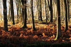 Terreno boscoso del faggio nella foresta di decano all'autunno Fotografie Stock Libere da Diritti