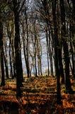 Terreno boscoso del faggio nella foresta di decano, Gloucestershire Fotografia Stock