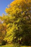 Terreno boscoso giallo di autunno Immagini Stock