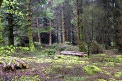 Terreno boscoso muscoso con alcuni tronchi di albero tagliati fotografie stock libere da diritti