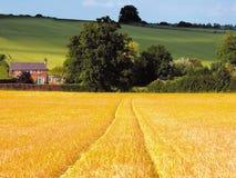 Terreno coltivabile con i raccolti del cereale Immagini Stock