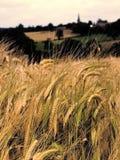 Terreno coltivabile con i raccolti del cereale Immagine Stock