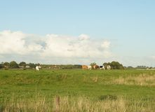 Terreno coltivabile con le mucche nei Paesi Bassi Immagini Stock