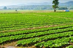 Terreno coltivabile del cavolo Immagine Stock