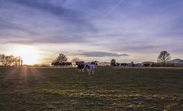 Terreno coltivabile del pascolo delle mucche al tramonto Immagini Stock