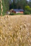 Terreno coltivabile dell'avena Fotografia Stock