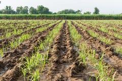 Terreno coltivabile della canna da zucchero del bambino fotografia stock libera da diritti