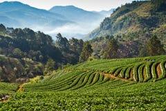 Terreno coltivabile della fragola Immagine Stock