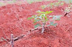 Terreno coltivabile della manioca Fotografia Stock