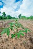 Terreno coltivabile della manioca Fotografia Stock Libera da Diritti