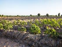 Terreno coltivabile della manioca Immagini Stock