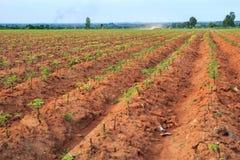 Terreno coltivabile della manioca Immagine Stock Libera da Diritti