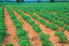Terreno coltivabile della manioca Immagini Stock Libere da Diritti