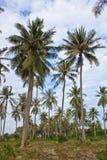 Terreno coltivabile della noce di cocco fotografia stock