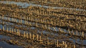 Terreno coltivabile di inverno con le file delle stoppie delle piante di mais Immagini Stock