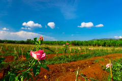 Terreno coltivabile di Rosa Fotografia Stock