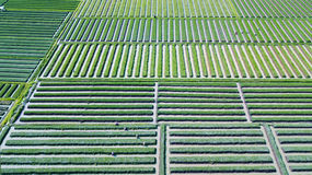 Terreno coltivabile e agricoltore della cipolla rossa Fotografie Stock