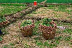 Terreno coltivabile riempito di cipolle Fotografia Stock