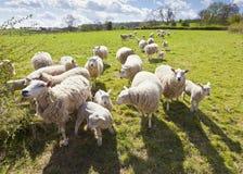 Terreno coltivabile rurale idilliaco, Cotswolds Regno Unito Fotografie Stock Libere da Diritti