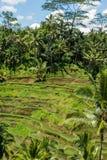 Terreno coltivabile a terrazze verde fertile in Bali Fotografia Stock