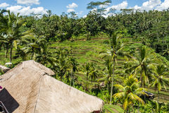 Terreno coltivabile a terrazze verde fertile in Bali Fotografie Stock