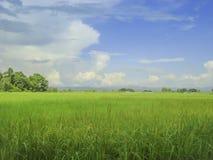 Terreno coltivabile verde-cupo della risaia con fondo nuvoloso blu Fotografia Stock
