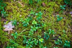 Terreno della foresta con erba Immagini Stock