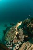 Terreno della tartaruga Fotografia Stock