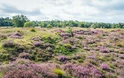 Terreno montanhoso com a charneca de florescência roxa em uma natureza holandesa rese fotos de stock royalty free